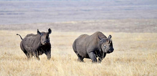 How wildlife conservancies are using #IoT to track location of endangered rhinos in Tanzania